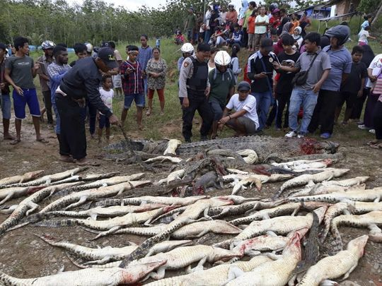 636673256356013435 CROC2AP Indonesia Crocodiles Slaughtered 101530347
